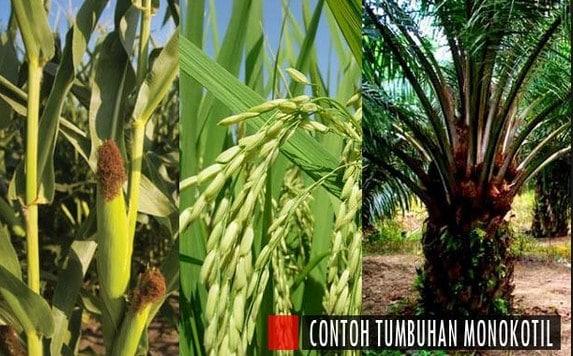 √Contoh Tumbuhan Monokotil : Pengertian, Ciri, Jenis, dan Contohnya