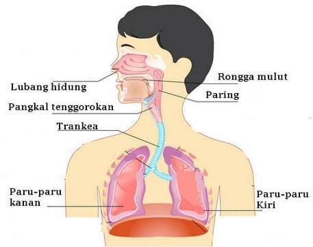 √Alat Pernapasan Manusia : Pengertian, Organ, Jenis, Gangguan dan Prosesnya