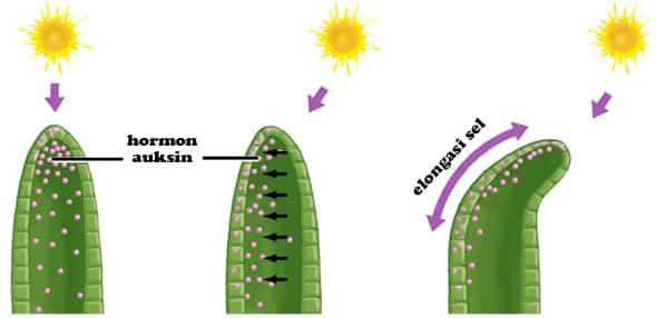 √ Hormon Pada Tumbuhan : Pengertian, Jenis, Fungsi dan cirinya