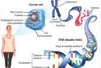 √ Kromosom Manusia : Pengertian, Struktur, Jenis, Jumlah dan Fungsinya