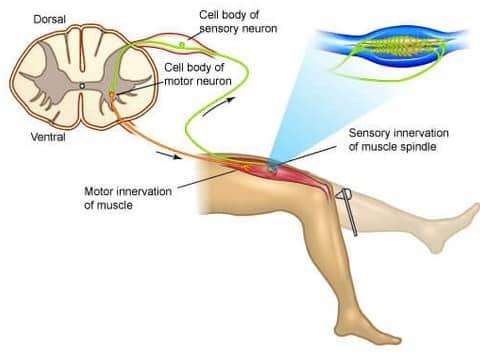 √ Gerak Refleks : Pengertian, Jenis, Mekanisme dan Prosesnya