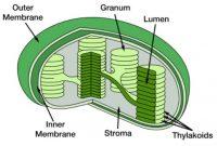 √ Struktur Kloroplas : Pengertian dan Fungsi