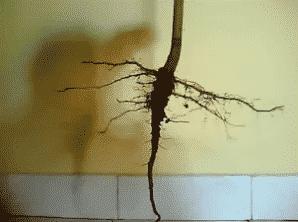 √ Jenis Akar Tumbuhan : Pengertian, Jenis, Fungsi, Struktur, Contoh dan Penjelasannya
