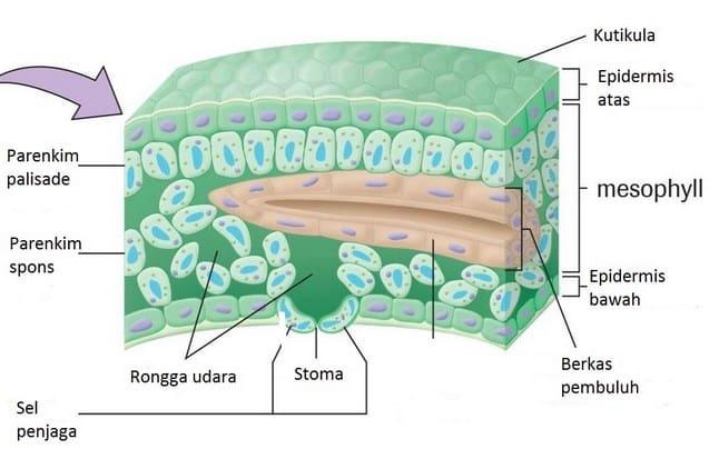 √ Fungsi Jaringan Epidermis : Pengertian, Ciri dan Bagiannya