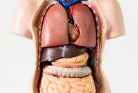 √ Organ Tubuh Manusia : Pengertian, Fungsi dan Sistem Kerjanya