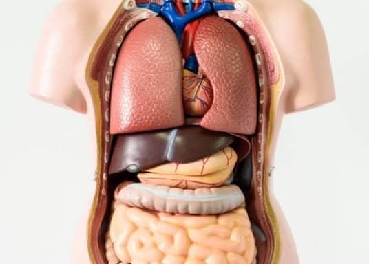 Organ Tubuh Manusia Pengertian Fungsi Sismtem Dalam Luar