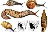 √ Ciri Mollusca : Pengertian, Sistem dan Klasifikasinya