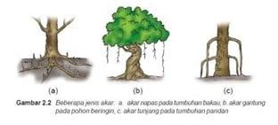 Struktur Jaringan Akar Jenis Pengertian Bagian Bagian