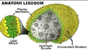 Fungsi-Lisosom