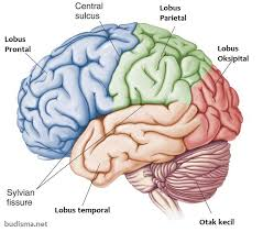 otak-besar