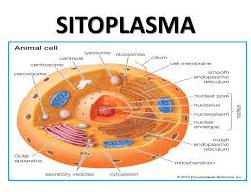 gambar-sitoplasma
