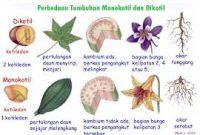 Perbedaan-Tumbuhan-Dikotil-dan-Monokotil