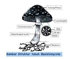 Basidiomycota