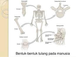 Bentuk Tulang