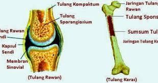 gambar tulang rawan