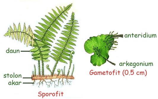 struktur pteridophyta