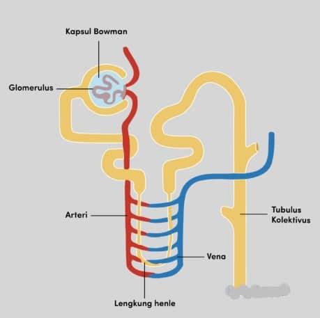 Pelvis renal