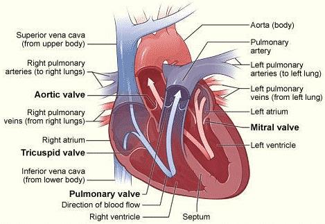 Siklus Jantung